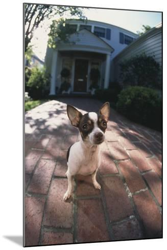 Chihuahua on Path-DLILLC-Mounted Photographic Print