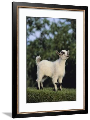Pygmy Goat-DLILLC-Framed Art Print