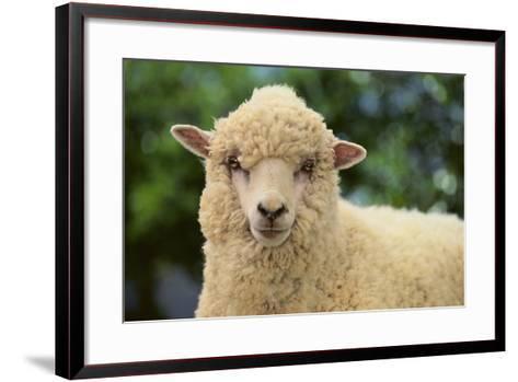 Whitefaced Sheep-DLILLC-Framed Art Print