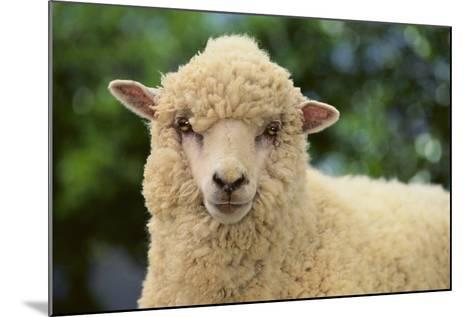 Whitefaced Sheep-DLILLC-Mounted Photographic Print