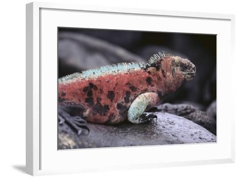Marine Iguana-DLILLC-Framed Art Print