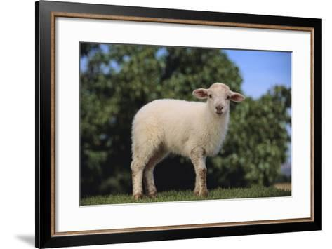 Whitefaced Lamb in the Pasture-DLILLC-Framed Art Print