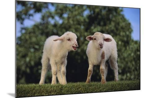 Whitefaced Lamb in the Pasture-DLILLC-Mounted Photographic Print