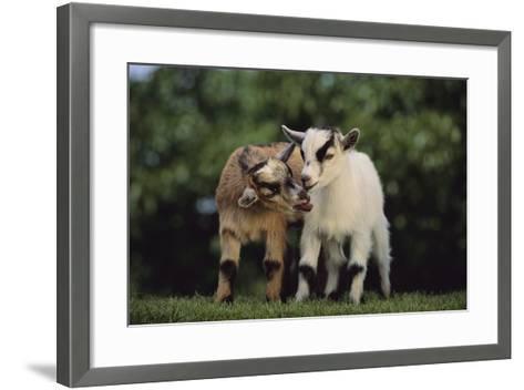 Pygmy Goats-DLILLC-Framed Art Print