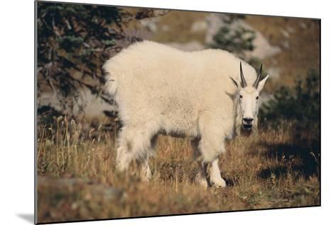 Mountain Goat-DLILLC-Mounted Photographic Print