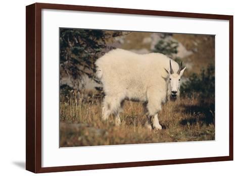 Mountain Goat-DLILLC-Framed Art Print