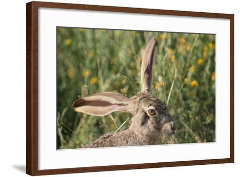 Jackrabbit Listening with Both Ears-DLILLC-Framed Art Print