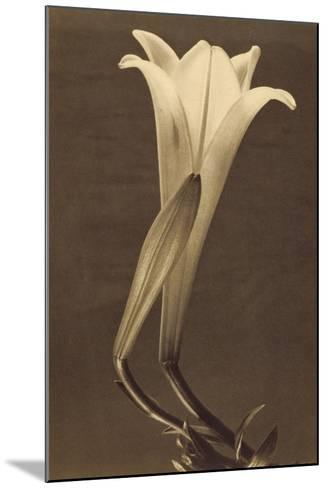 No. 1 by Tina Modotti--Mounted Photographic Print