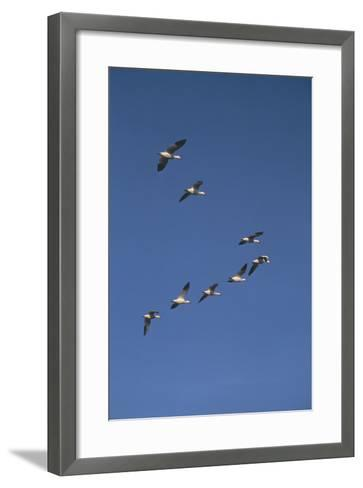 Snow Geese Flying in Formation-DLILLC-Framed Art Print