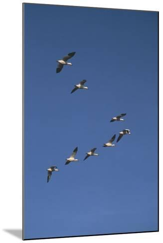 Snow Geese Flying in Formation-DLILLC-Mounted Photographic Print