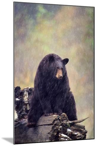 Black Bear-DLILLC-Mounted Photographic Print