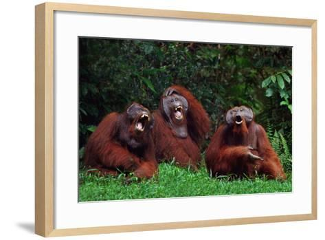 Orangutans Laughing-DLILLC-Framed Art Print