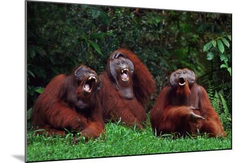 Orangutans Laughing-DLILLC-Mounted Photographic Print