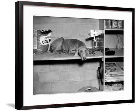 Dog Sits on a Shelf at Shelter in Oakland, California, Ca. 1963.-Kirn Vintage Stock-Framed Art Print
