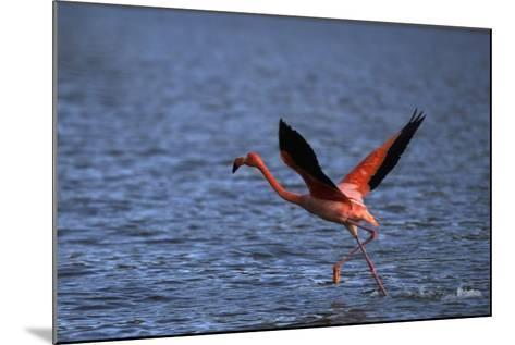 Flamingo Wading through Water-DLILLC-Mounted Photographic Print