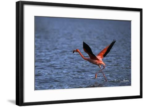 Flamingo Wading through Water-DLILLC-Framed Art Print