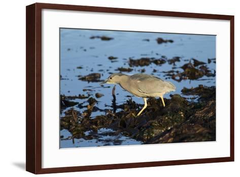 Black-Crowned Night Heron-Mary Ann McDonald-Framed Art Print