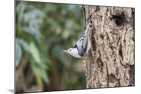 White-Breasted Nuthatch-Gary Carter-Mounted Photographic Print