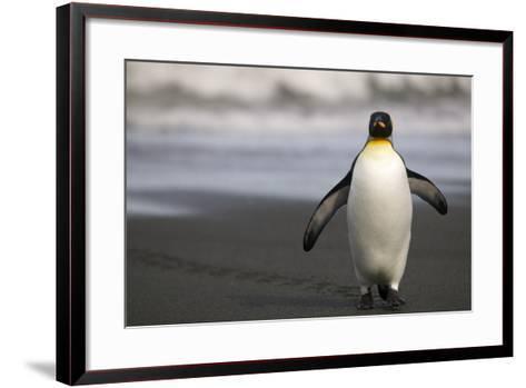 King Penguin Walking on Sand-DLILLC-Framed Art Print