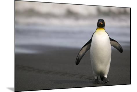 King Penguin Walking on Sand-DLILLC-Mounted Photographic Print