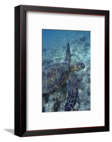 Green Sea Turtle Swimming in Ocean-DLILLC-Framed Art Print