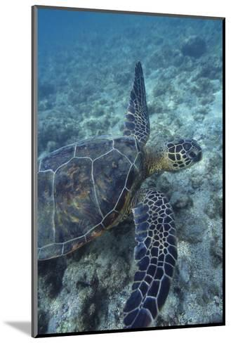 Green Sea Turtle Swimming in Ocean-DLILLC-Mounted Photographic Print