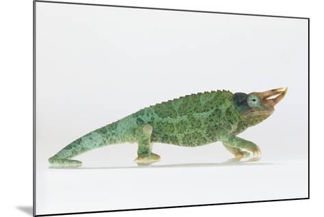 Jackson's Chameleon-DLILLC-Mounted Photographic Print