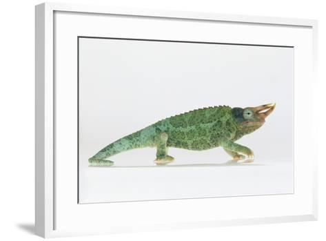 Jackson's Chameleon-DLILLC-Framed Art Print