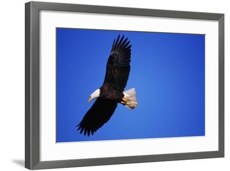 Bald Eagle Hunts, Nova Scotia-Paul Souders-Framed Art Print