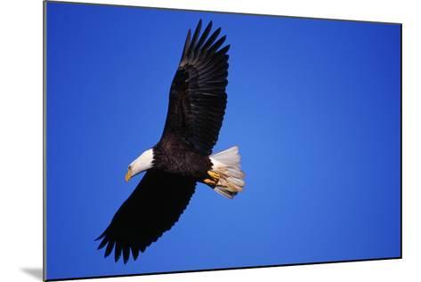 Bald Eagle Hunts, Nova Scotia-Paul Souders-Mounted Photographic Print