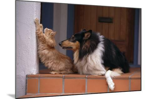Collie Watching Cat Scratch Wall-DLILLC-Mounted Photographic Print