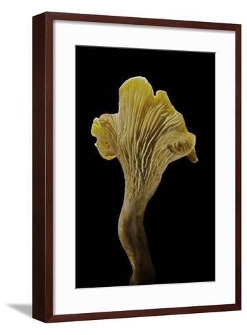 Cantharellus Cibarius (Chanterelle, Egg Mushroom)-Paul Starosta-Framed Art Print
