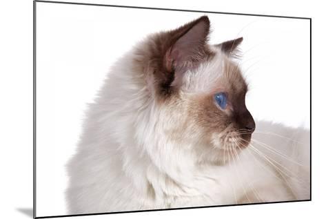 Sacred Cat of Burma-Fabio Petroni-Mounted Photographic Print
