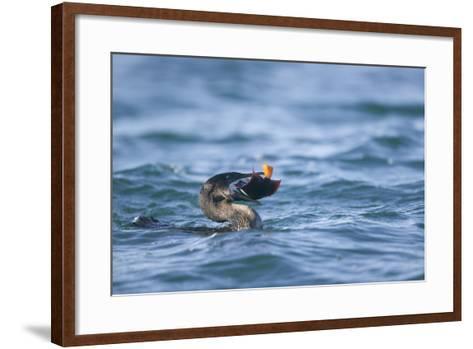 Flightless Cormorant Eating a King Angelfish-DLILLC-Framed Art Print