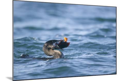 Flightless Cormorant Eating a King Angelfish-DLILLC-Mounted Photographic Print