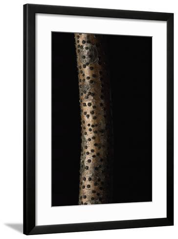 Diatrype Disciformis (Beech Barkspot)-Paul Starosta-Framed Art Print