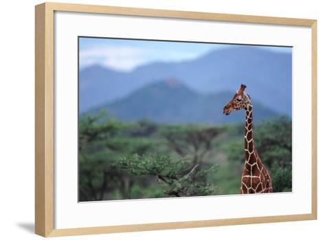 Reticulated Giraffe - Kenya-DLILLC-Framed Art Print