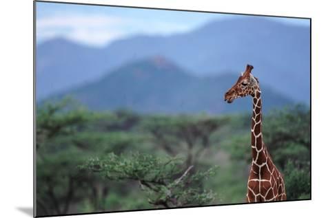 Reticulated Giraffe - Kenya-DLILLC-Mounted Photographic Print