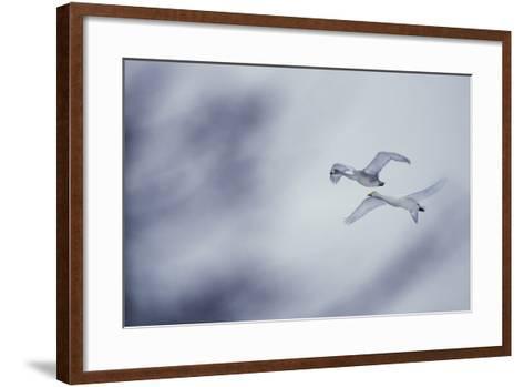 Flying Whooper Swans-DLILLC-Framed Art Print