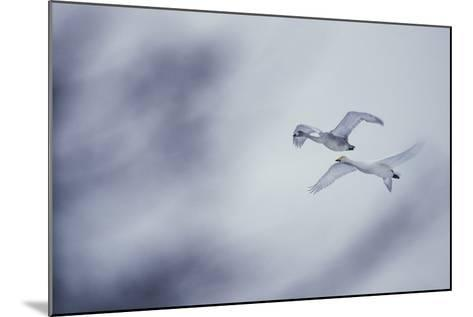 Flying Whooper Swans-DLILLC-Mounted Photographic Print