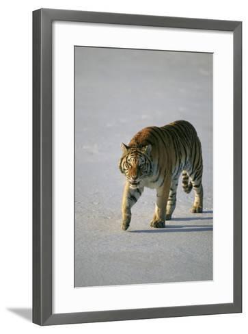Siberian Tiger Walking on Snow-DLILLC-Framed Art Print