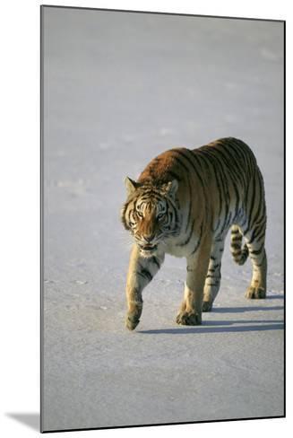 Siberian Tiger Walking on Snow-DLILLC-Mounted Photographic Print