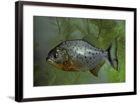 Pygocentrus Nattereri (Red-Bellied Piranha, Red Piranha)-Paul Starosta-Framed Art Print