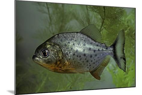 Pygocentrus Nattereri (Red-Bellied Piranha, Red Piranha)-Paul Starosta-Mounted Photographic Print