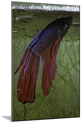 Betta Splendens (Siamese Fighting Fish) - Male Building its Bubble Nest-Paul Starosta-Mounted Photographic Print