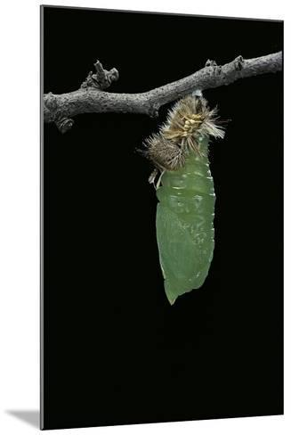 Morpho Peleides (Blue Morpho) - Caterpillar Pupating-Paul Starosta-Mounted Photographic Print