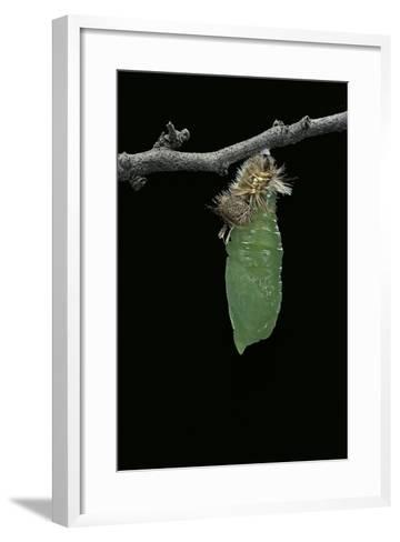 Morpho Peleides (Blue Morpho) - Caterpillar Pupating-Paul Starosta-Framed Art Print