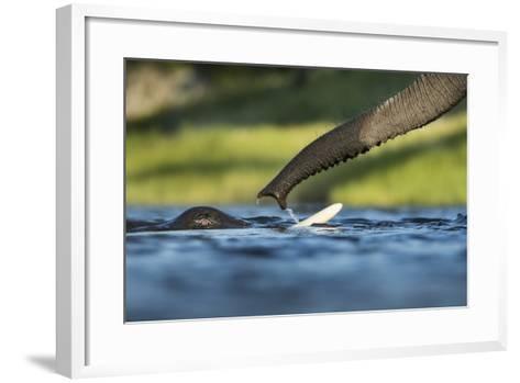 African Elephants in Chobe River, Chobe National Park, Botswana-Paul Souders-Framed Art Print