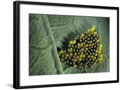 Pieris Brassicae (Large White Butterfly, Cabbage Butterfly) - Old Eggs-Paul Starosta-Framed Art Print