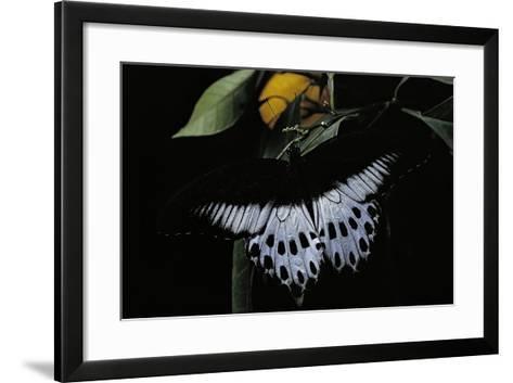 Papilio Polymnestor (Blue Mormon) - Male-Paul Starosta-Framed Art Print